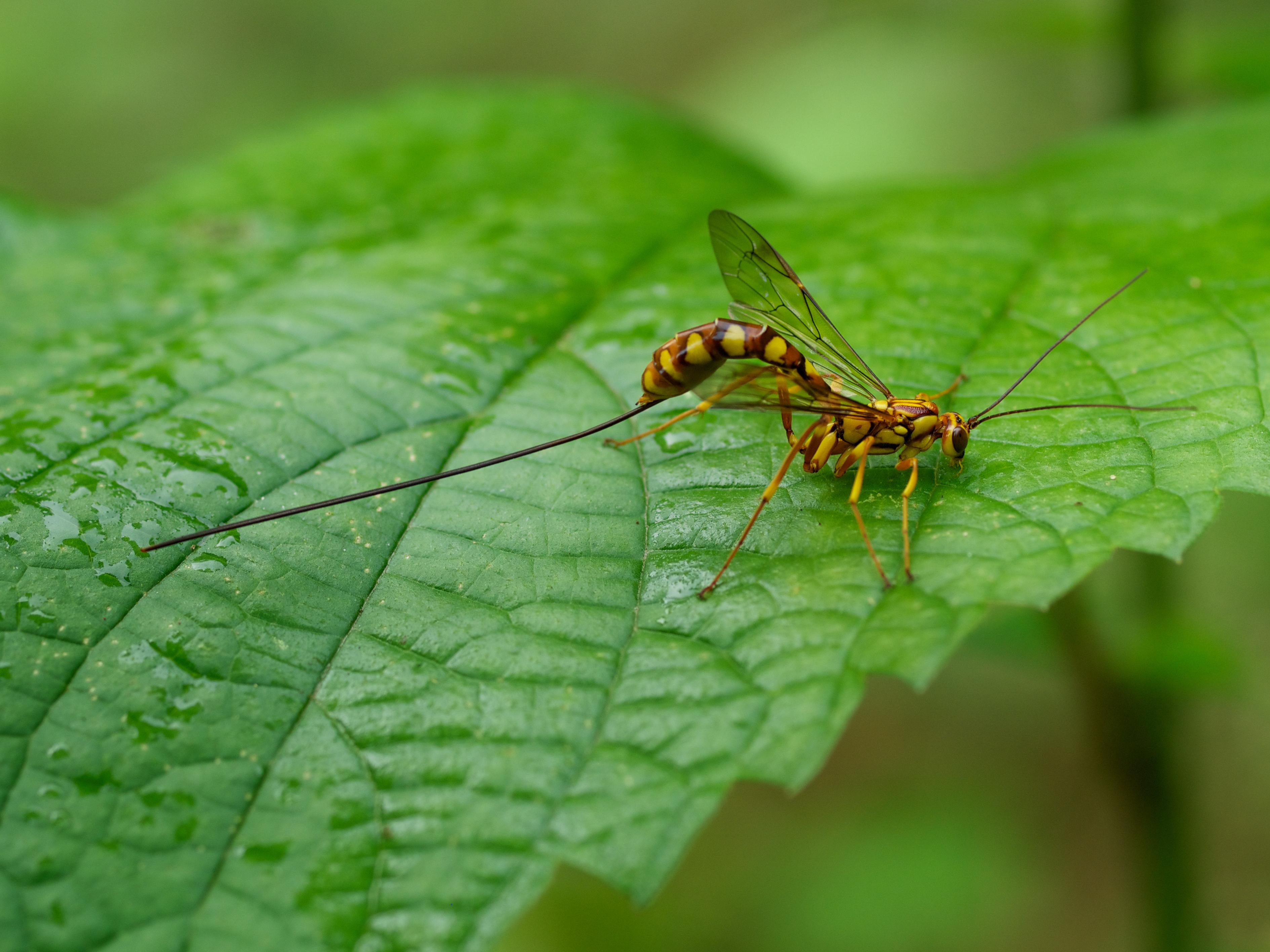 オナガバチの一種
